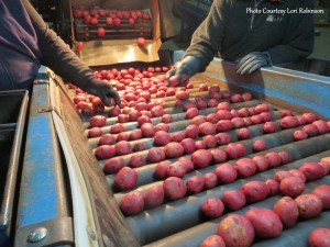 Grading Potatoes