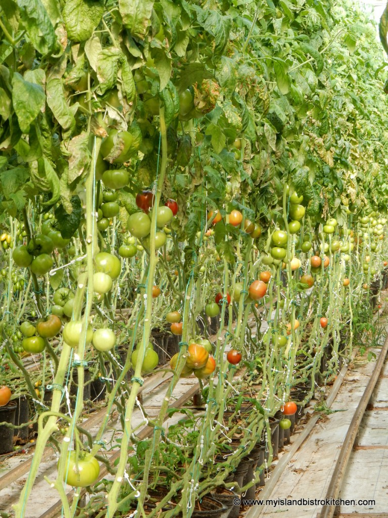Rows of Beefsteak Tomatoes at the Schurman Family Farm, Spring Valley, PEI