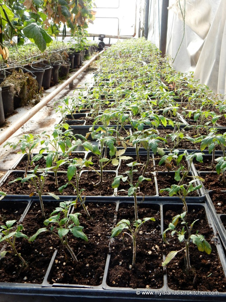 Plant seedlings started to ensure a continuous supply of fresh greenhouse produce