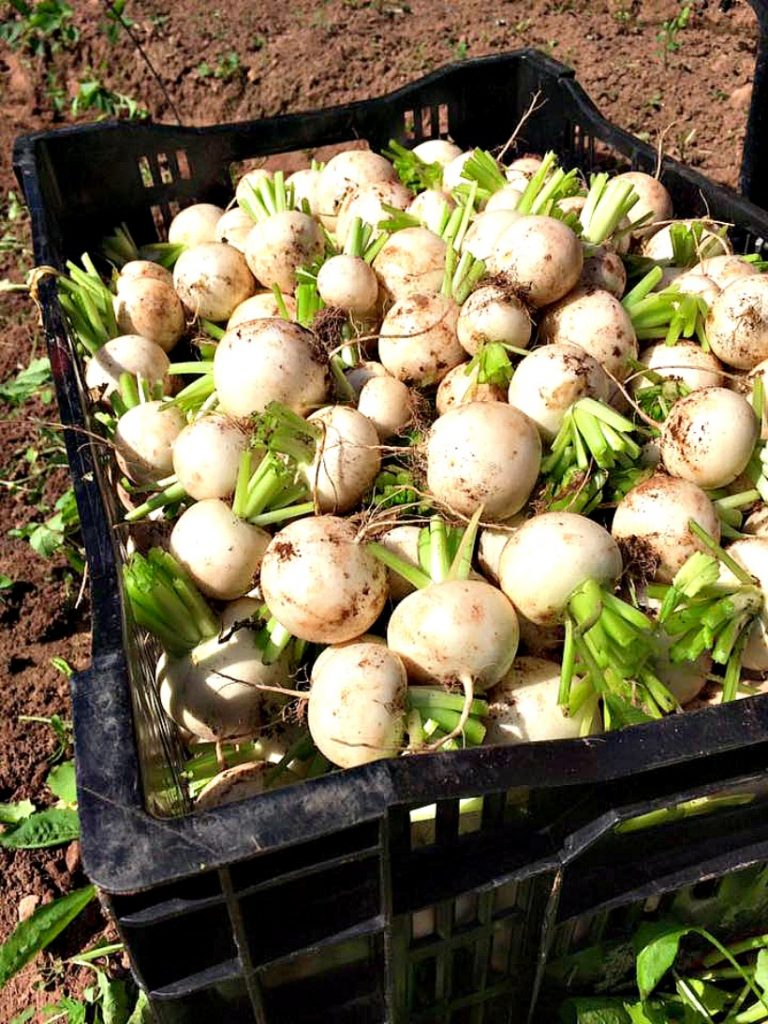 Turnips (Photo Courtesy Just a Little Farm, Bonshaw, PEI)