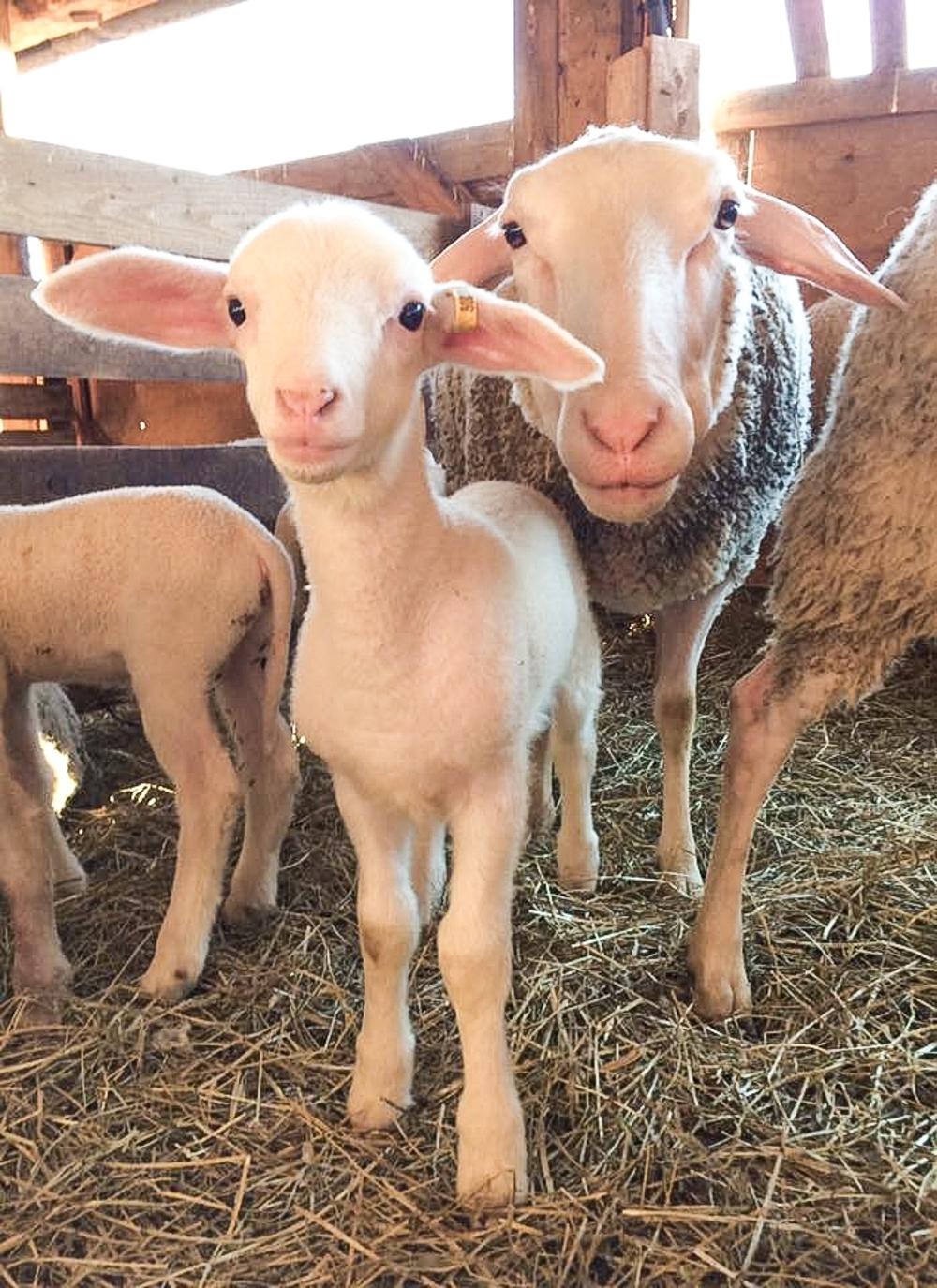 Mama Poses with her Baby Lamb at Ferme Isle Saint-Jean in Rustico, PEI (Photo courtesy Ferme Isle Saint-Jean)