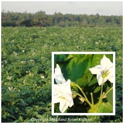 PEI Potato Field