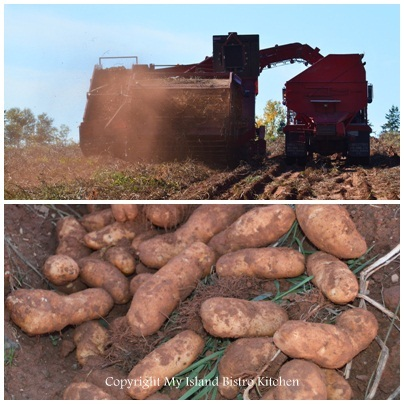 PEI Potato Harvesting