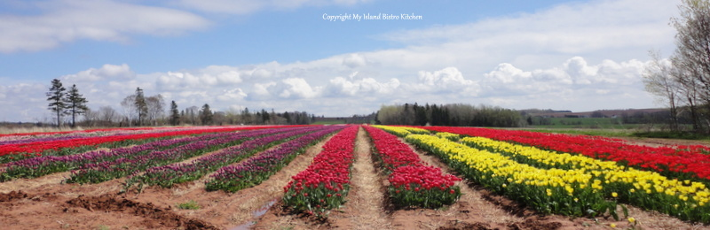 FIeld of Tulips, Pownal, PEI