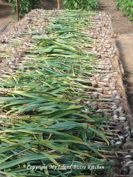 Freshly-harvested Garlic Drying