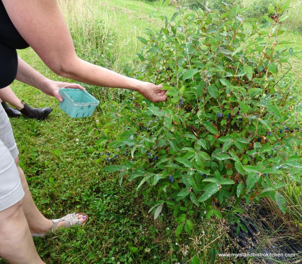 Hand-picking Haskap berries