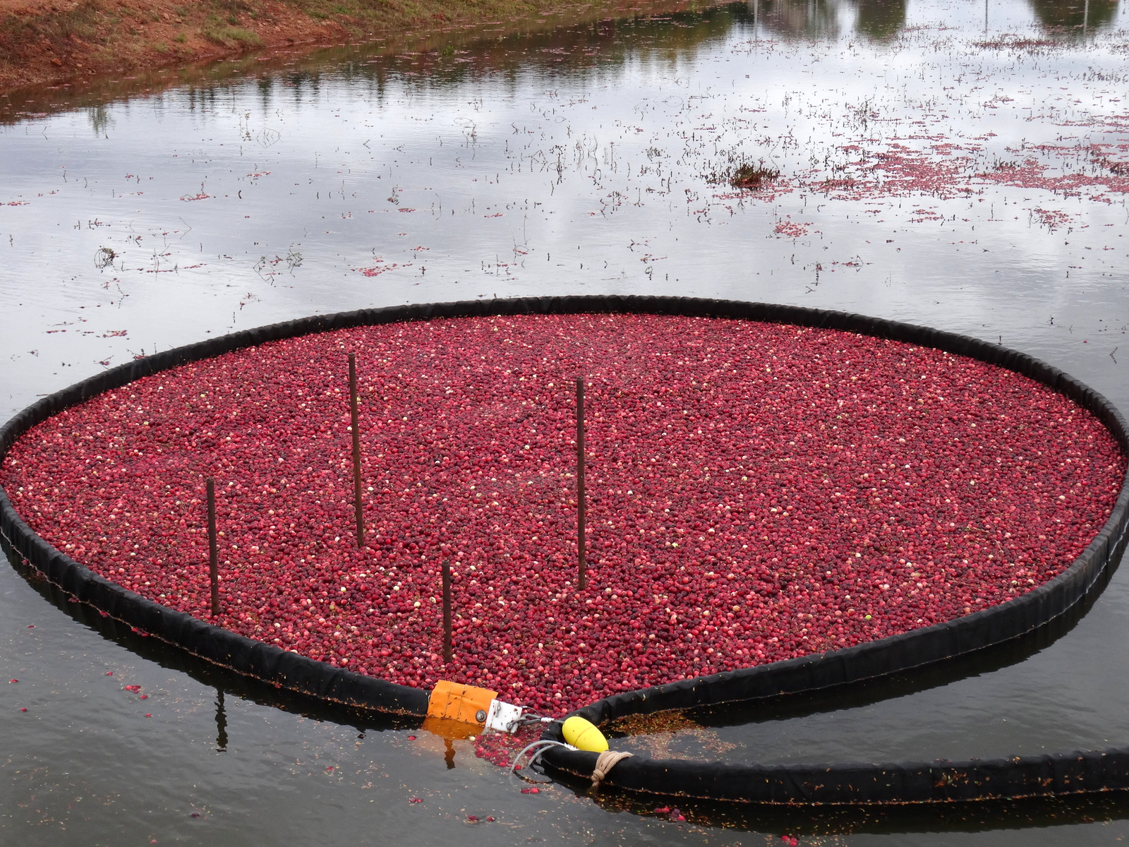 Corralled Cranberries