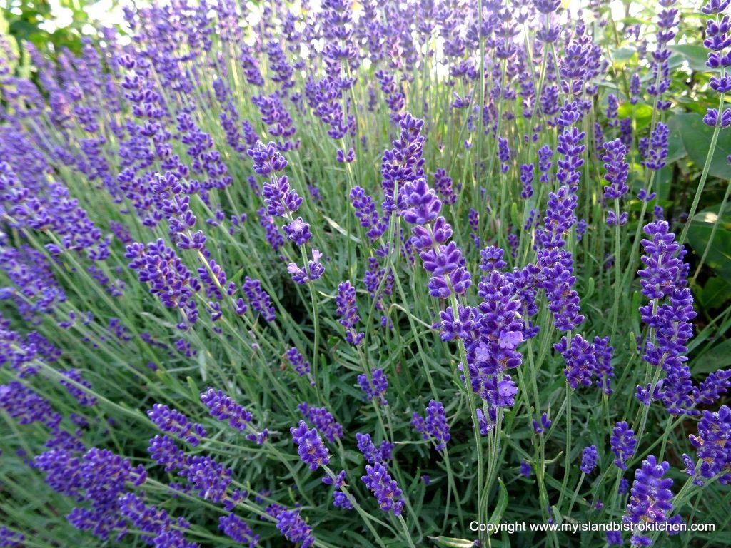 Lavender Harvesting