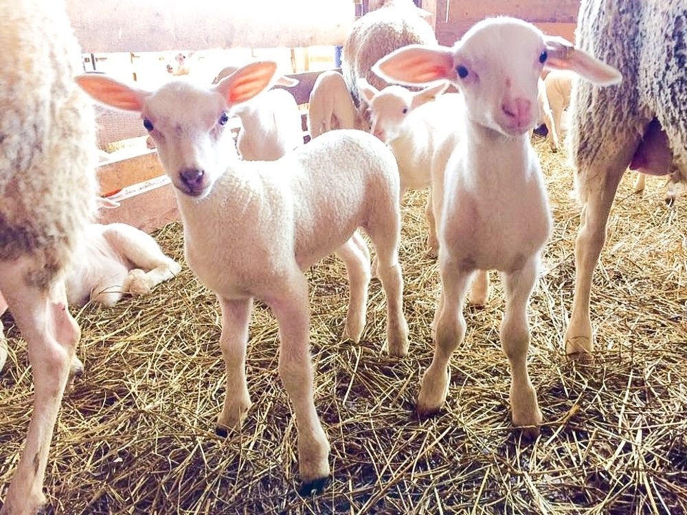 Young Lambs at Ferme Isle Saint-Jean, Rustico, PEI (Photo courtesy Ferme Isle Saint-Jean)