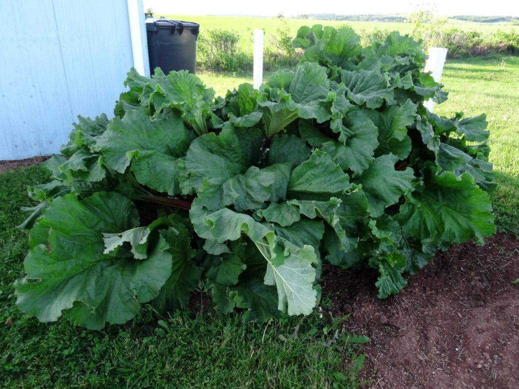 Rhubarb Patch of Two Crowns